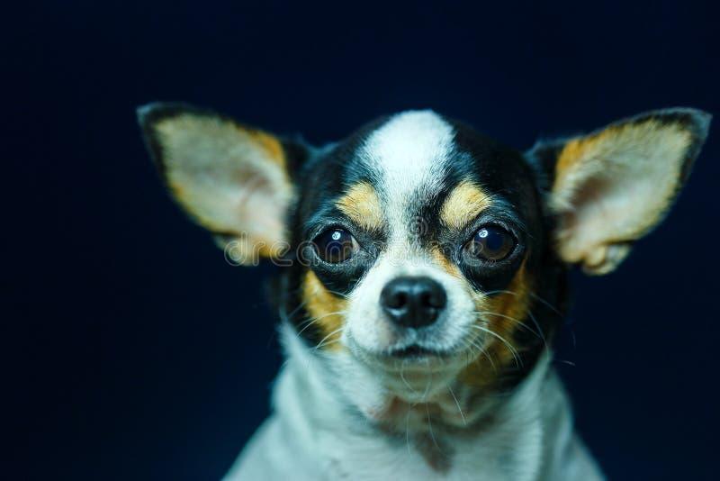 Чихуахуа, милый, собака стоковые фотографии rf