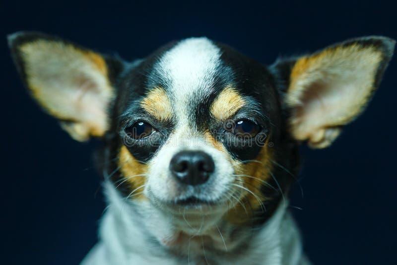 Чихуахуа, милый, собака стоковые изображения
