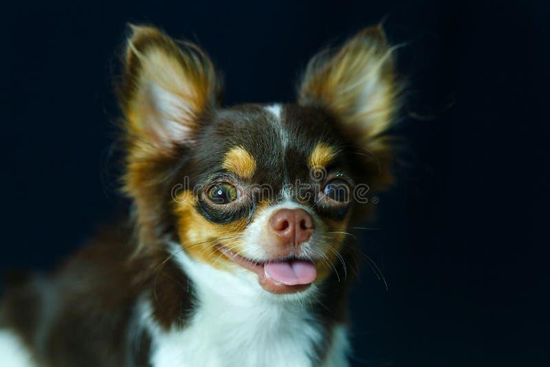 Чихуахуа, милый, собака стоковая фотография rf