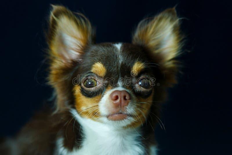 Чихуахуа, милый, собака стоковые фото