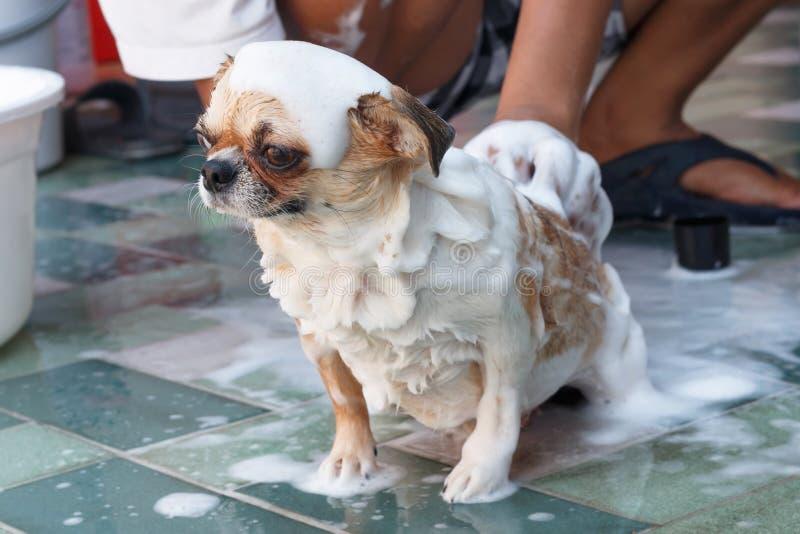 Чихуахуа принимая ванну стоковое фото