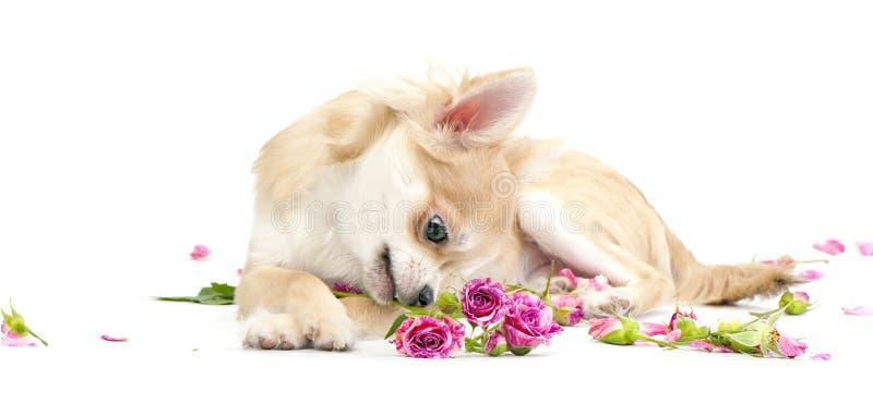 чихуахуа смотря розовые розы щенка сладостные стоковые фото