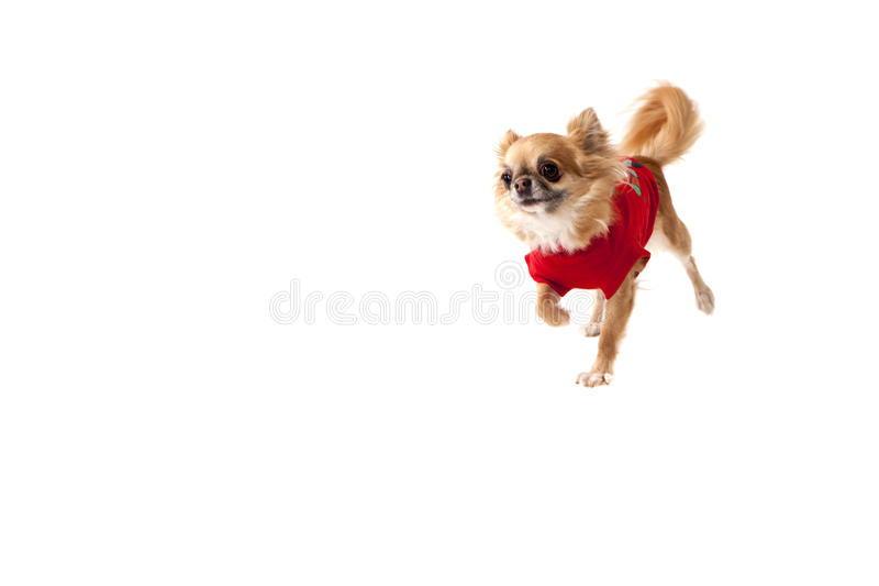 Чихуахуа собаки белая предпосылка стоковая фотография rf