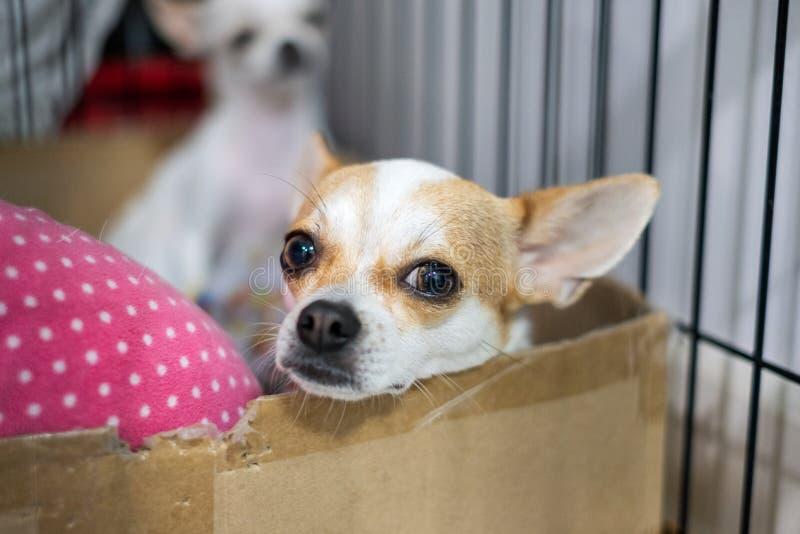 Чихуахуа щенка белый коричневый вытаращился стоковое фото rf