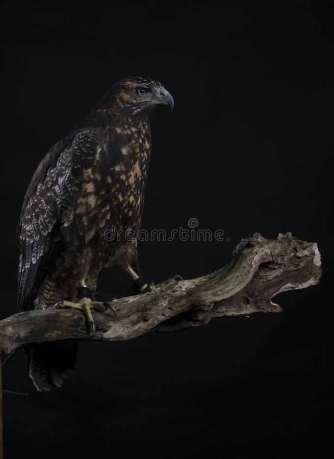 Чилийский голубой орел стоковое изображение