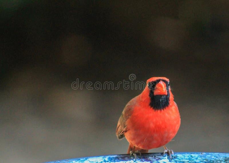 Что? Мужской кардинал стоковое фото rf