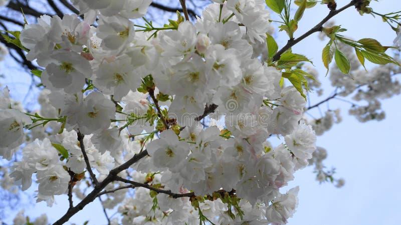 Чувствительная и красивая вишня Shirotae, вишня Mount Fuji, цветение с белыми цветками двойного слоя против предпосылки голубого  стоковые изображения