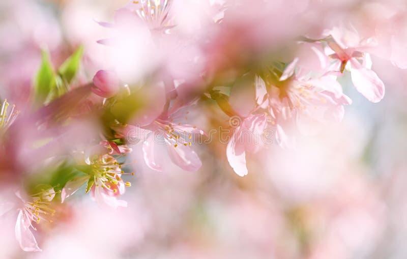 Чувствительная розовая цвести миндалина стоковая фотография