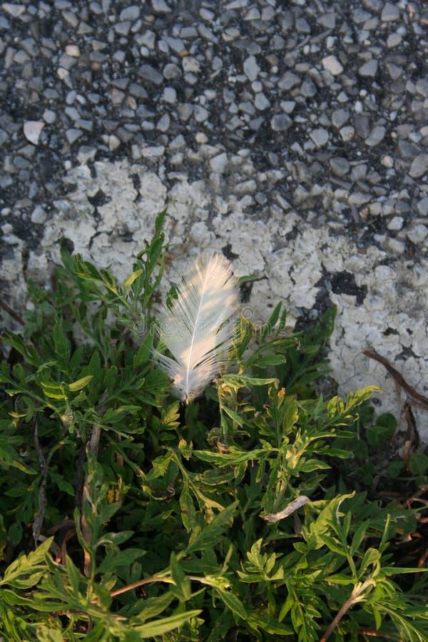 Чувствительное белое перо мягко приземляется на яркие ые-зелен заводы около скалистого асфальта как солнечный свет утра нежно осв стоковая фотография rf