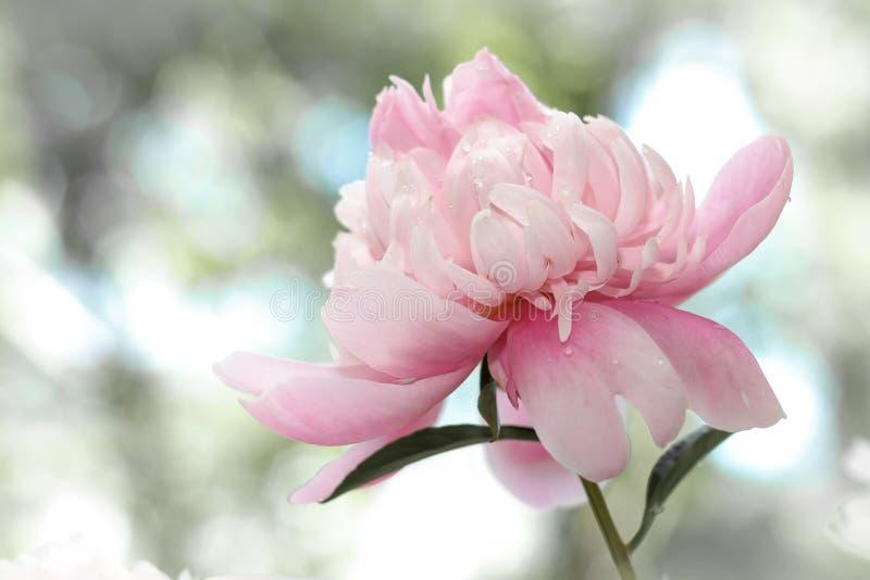 Чувствительное розовое peonie в саде стоковые фото