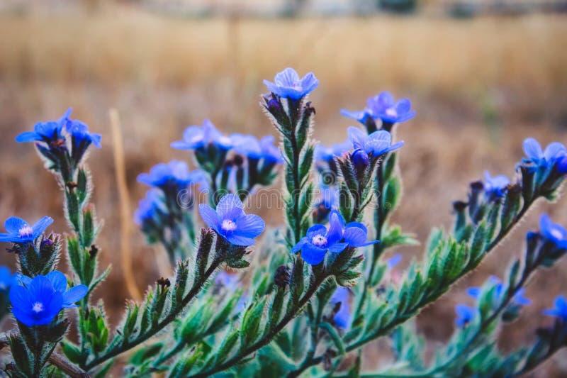 Чувствительные голубые цветки, большой голубой arvensis Anchusa alkanet в одичалом стоковое изображение