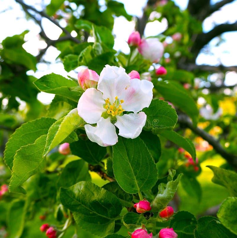 Чувствительные красивые белые розовые цветения на зеленой предпосылке, макрос яблока Цветки конца яблони вверх стоковая фотография rf