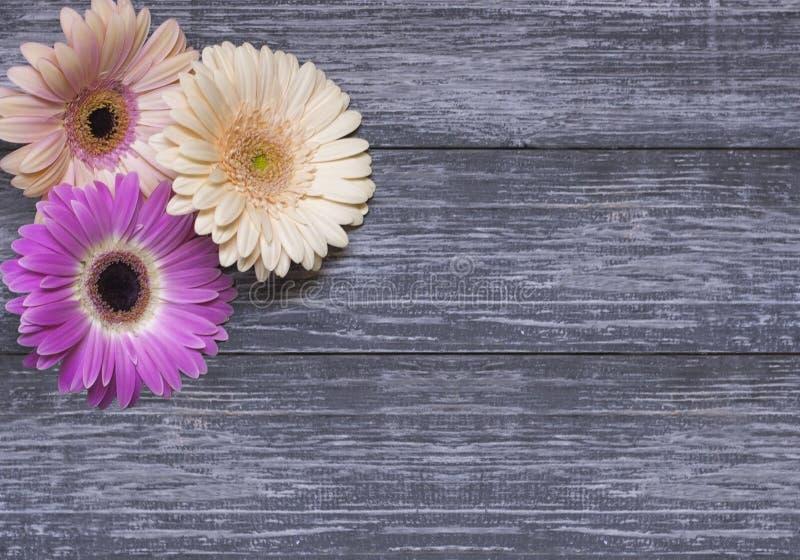 Чувствительные пестротканые цветки gerbera в угле рамки на текстурной серой предпосылке с космосом экземпляра E стоковое фото rf