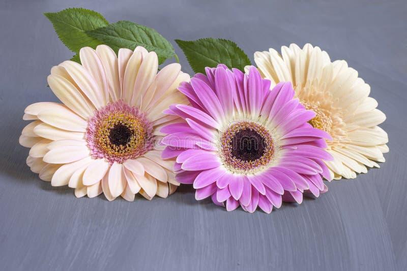 Чувствительные пестротканые цветки gerbera в центре рамки на текстурной серой предпосылке с космосом экземпляра E стоковые фото