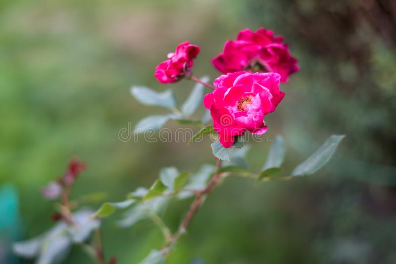 Чувствительные растущие цветков розы пинка в лете садовничают стоковые изображения rf
