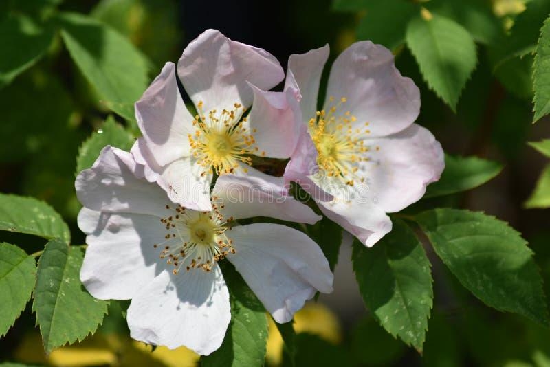 Чувствительные розовые цветки собаки Роза - Роза Canina стоковая фотография rf