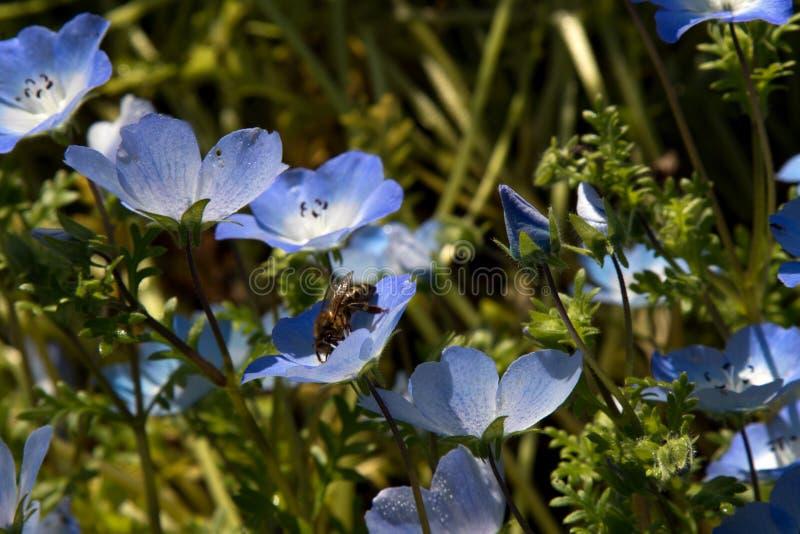 Чувствительные цветки голубых глазов младенца и пчела меда стоковые фотографии rf