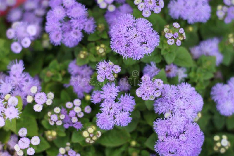 чувствительные цветки пурпуровые стоковое изображение