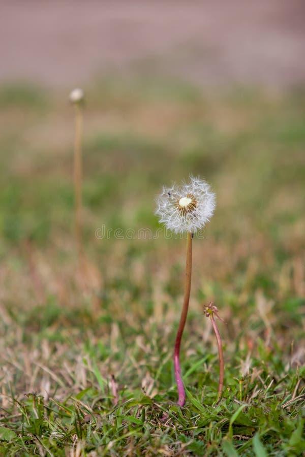 Чувствительный одуванчик с парашютами в траве стоковое изображение rf