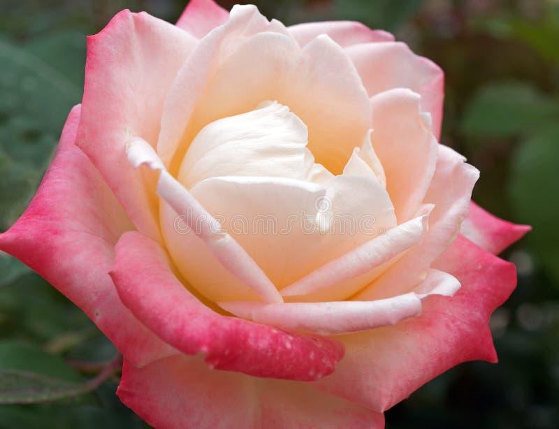 Чувствительный подняли с бледным - розовые и желтые лепестки стоковые изображения