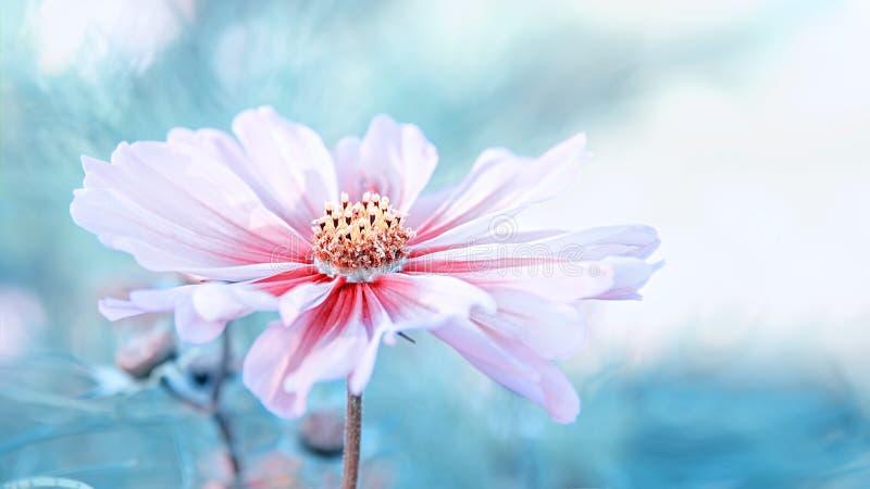Чувствительный розовый цветок маргаритки cosme на красивой предпосылке скопируйте космос стоковое изображение rf