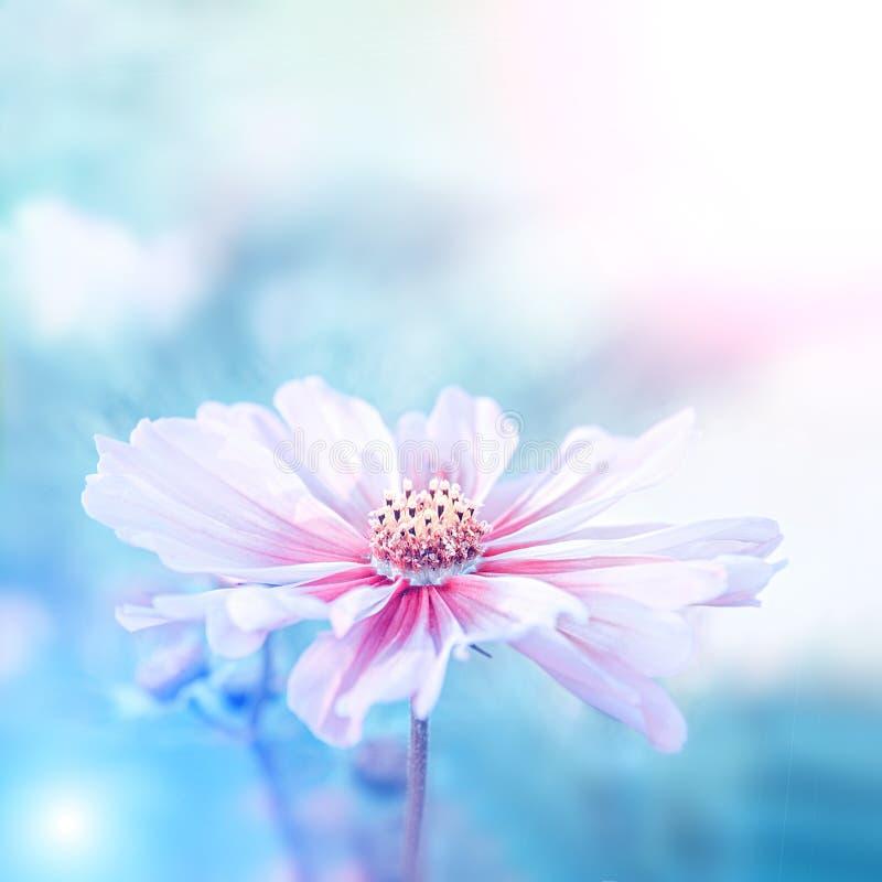 Чувствительный розовый цветок маргаритки cosme на красивой предпосылке скопируйте космос стоковая фотография rf