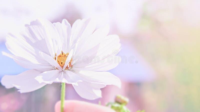Чувствительный розовый цветок маргаритки cosme на красивой предпосылке скопируйте космос стоковое изображение