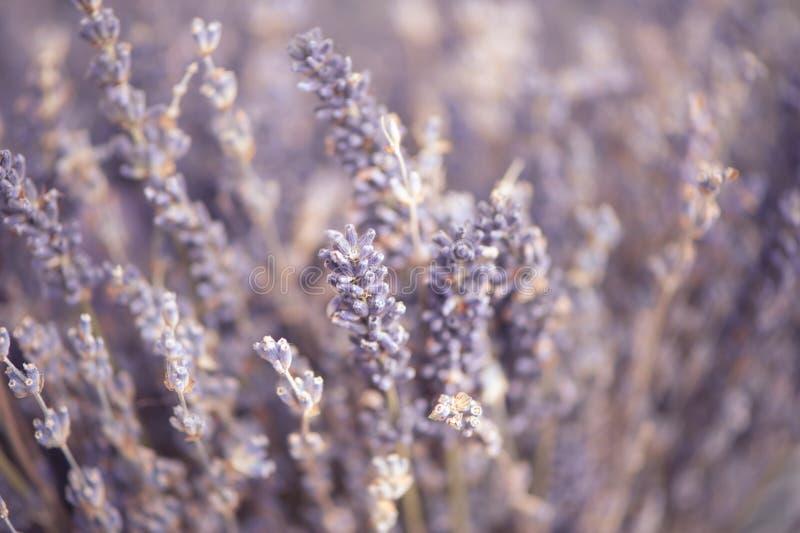 Чувствительный флористический конец-вверх предпосылки, цветки лаванды тонизировал стоковое изображение