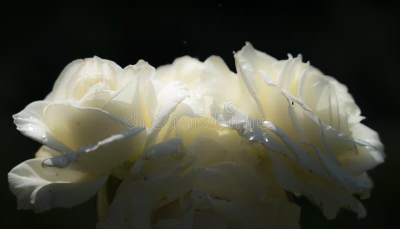 3 чувствительных цветка белой розы в дождевых каплях на темной предпосылке стоковые фото