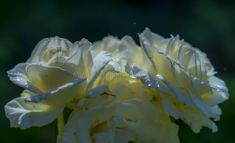 3 чувствительных цветка белой розы в дождевых каплях на темной предпосылке стоковая фотография rf