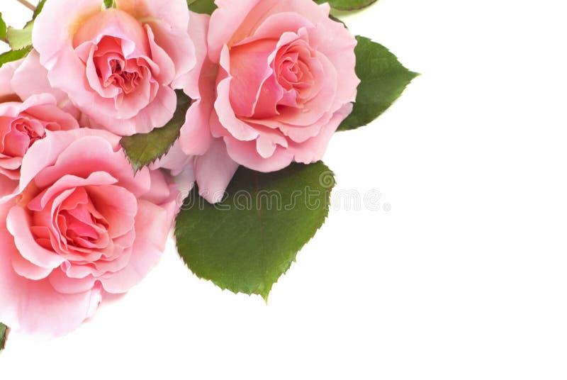 Чувствительные розовые розы на белой предпосылке стоковые изображения