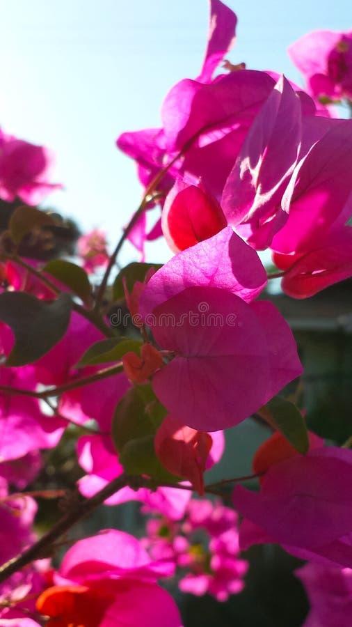 Чувствительные розовые цветеня стоковое изображение