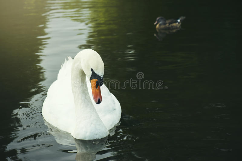 Чувствительный лебедь стоковая фотография rf