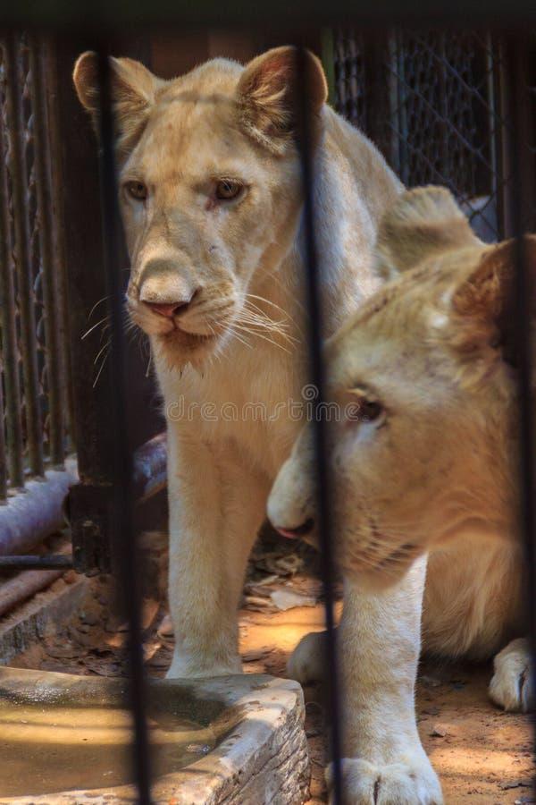 Чувствуйте жалость молодого белого льва в клетке стоковое изображение