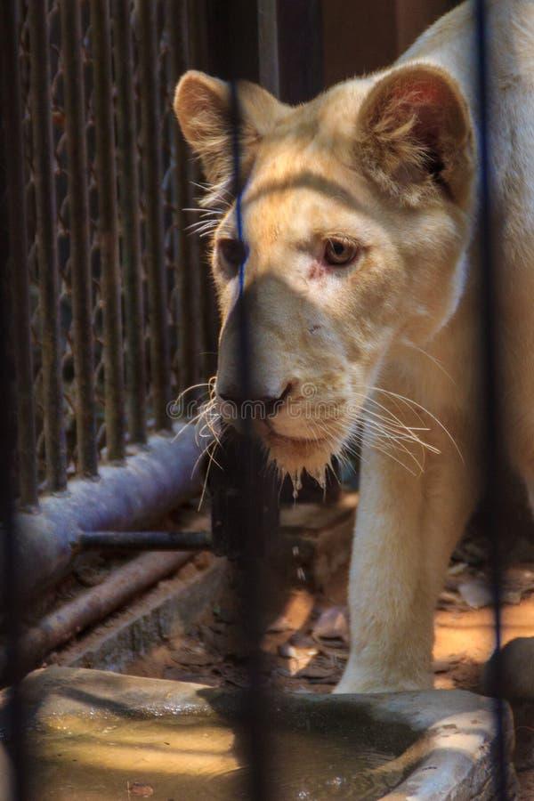 Чувствуйте жалость молодого белого льва в клетке стоковое фото