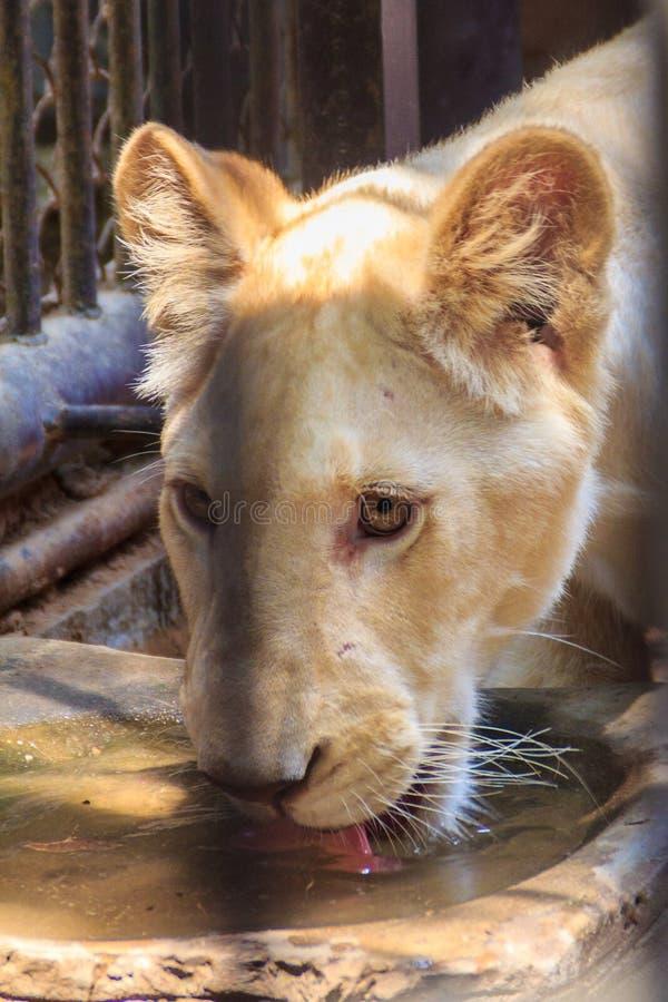 Чувствуйте жалость молодого белого льва в клетке стоковое изображение rf