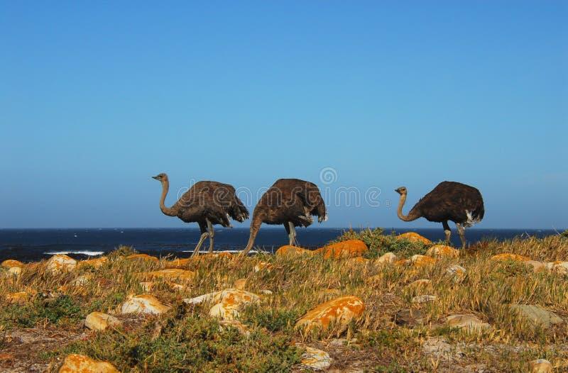 Чудесная предпосылка природы Конец вверх 3 диких страусов наслаждаясь солнечным днем вдоль красивого взморья около накидки стоковое фото