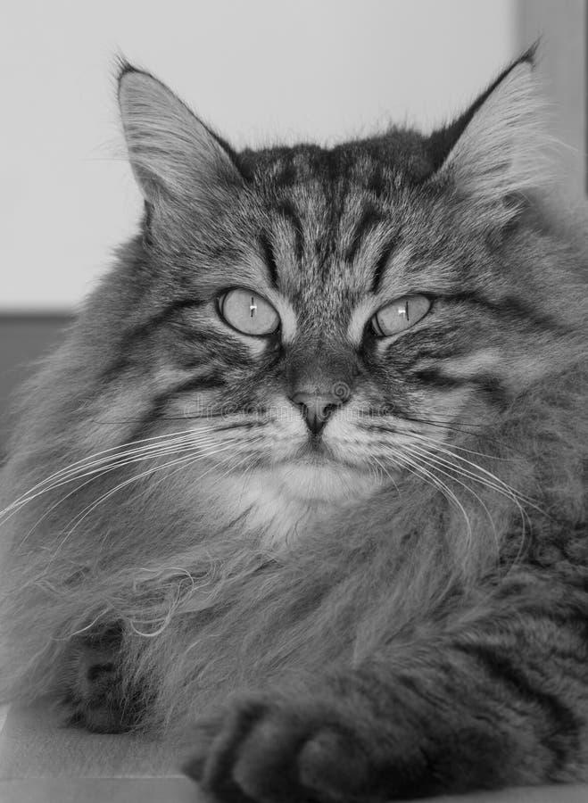 Чудесная сибирская сторона кота, мужской коричневый tabby в доме стоковое фото
