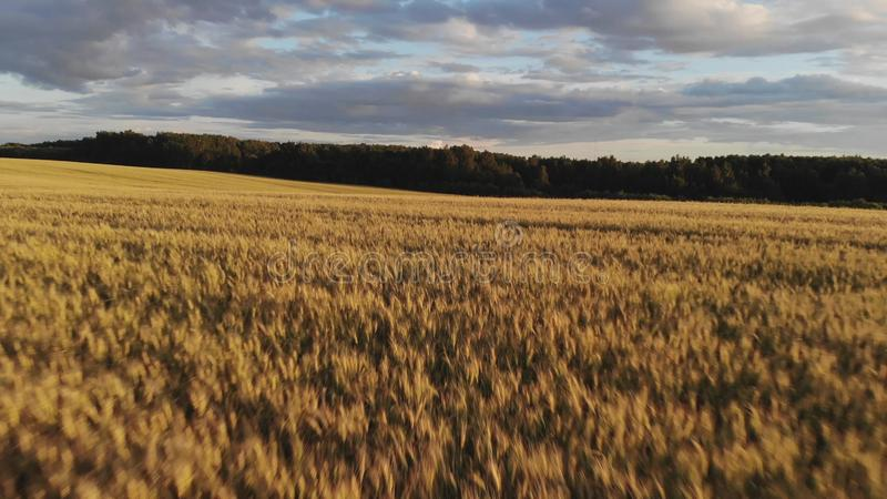 Чудесное жёлтое поле против густого зеленого леса стоковая фотография rf
