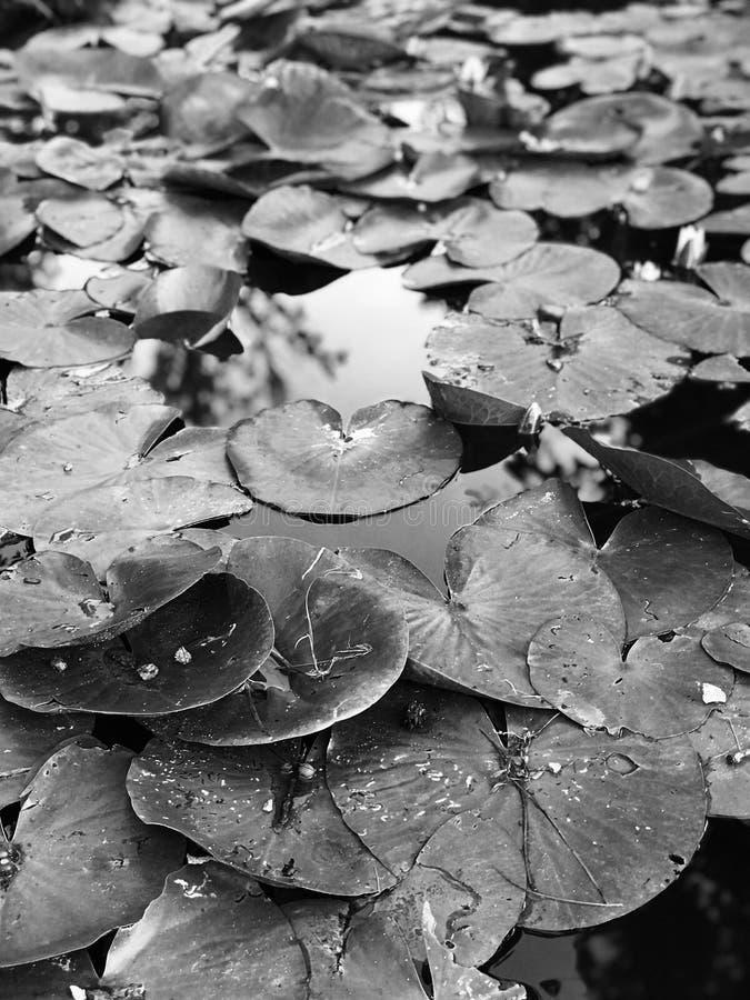 Чудесные новые пусковые площадки лилии в Bucha - ВЛЮБЛЕННОСТИ - BUCHA - УКРАИНА стоковая фотография rf