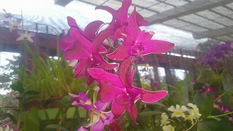 Чудесные цветки орхидеи Шри-Ланка стоковая фотография rf