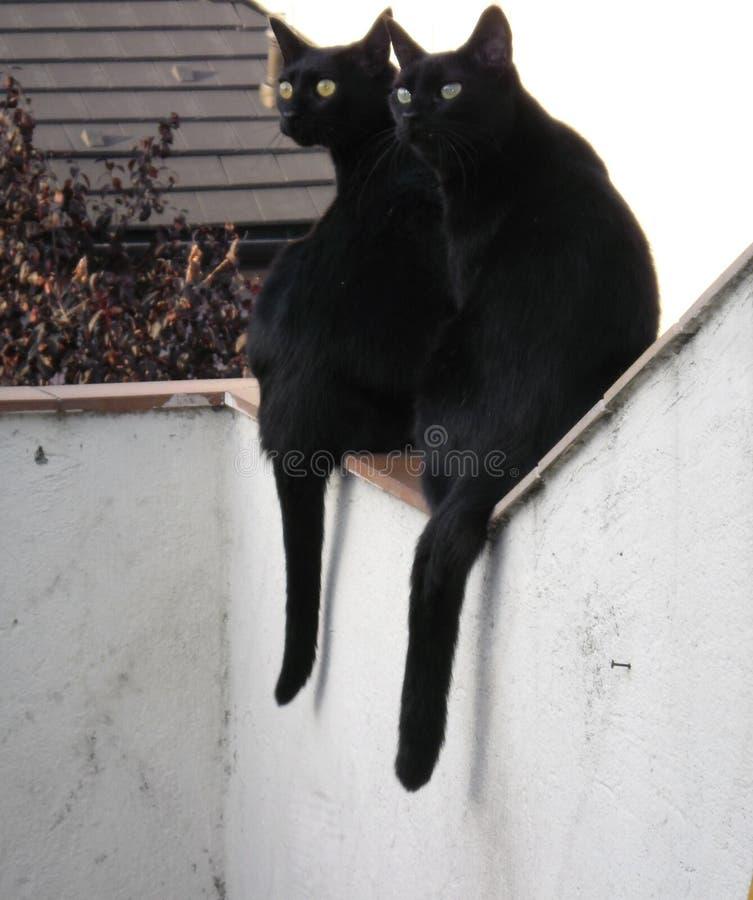 Чудесные черные коты стоковое фото