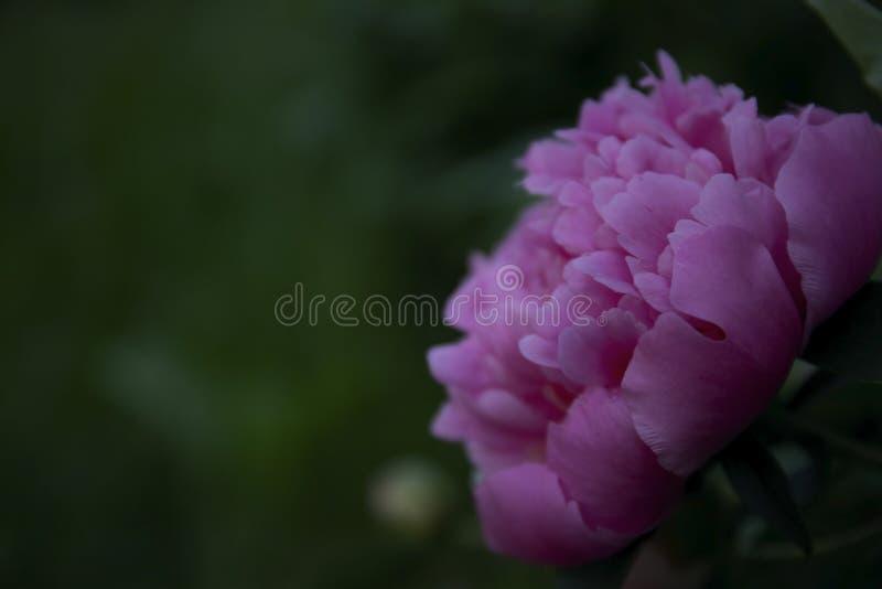 Чудесный розовый изолированный пион стоковые фотографии rf