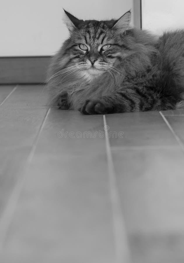 Чудесный сибирский кот, мужской коричневый tabby в доме стоковые фотографии rf