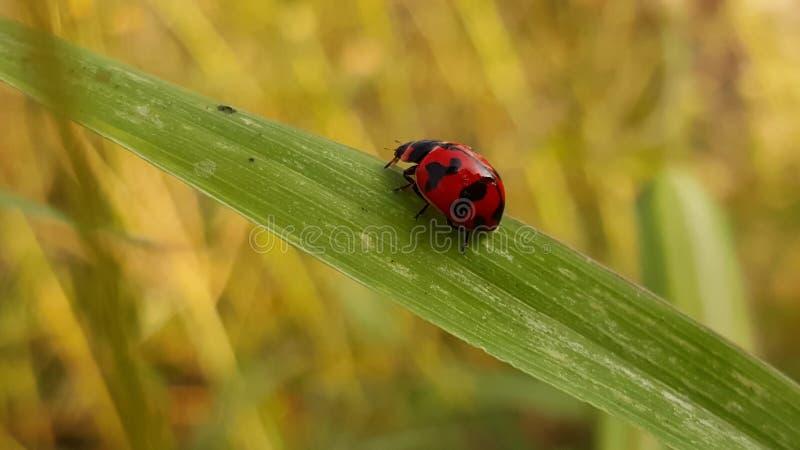 Чудесный ladybug от Таиланда стоковое фото rf
