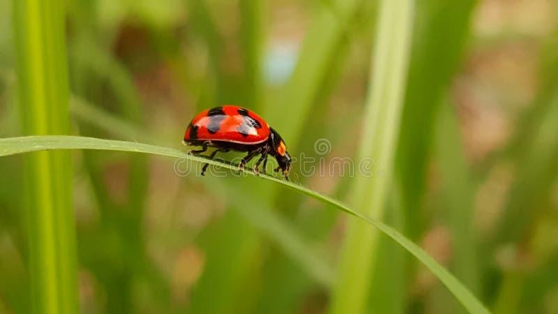Чудесный ladybug от Таиланда стоковая фотография