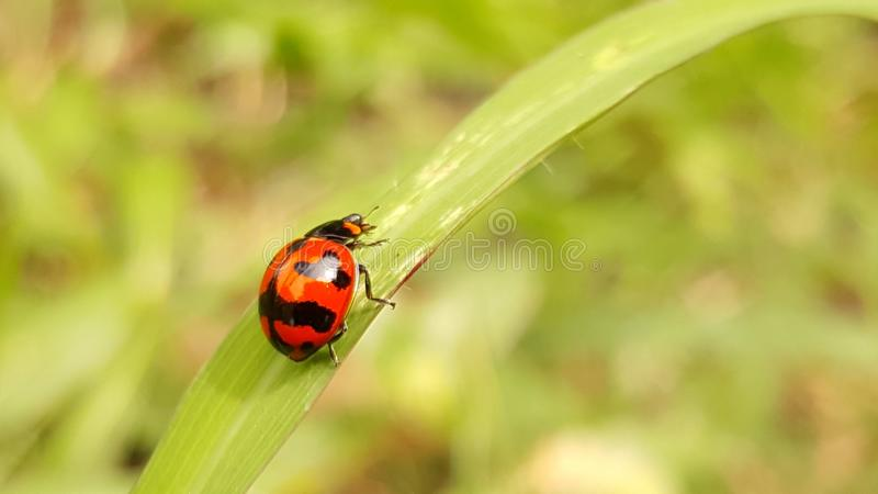 Чудесный ladybug от Таиланда стоковое изображение