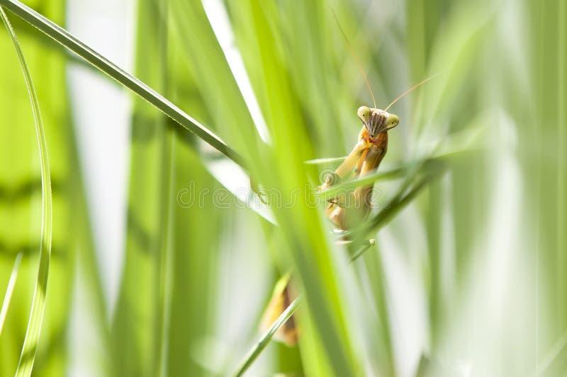 Чужеземец-лицый богомол среди травы стоковые изображения