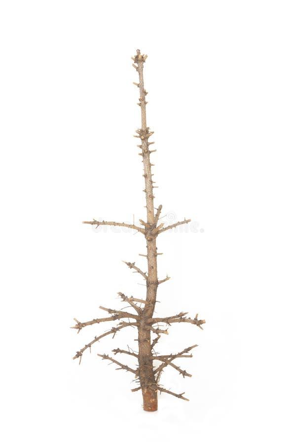 Чуть-чуть дерево сосенки стоковое фото rf