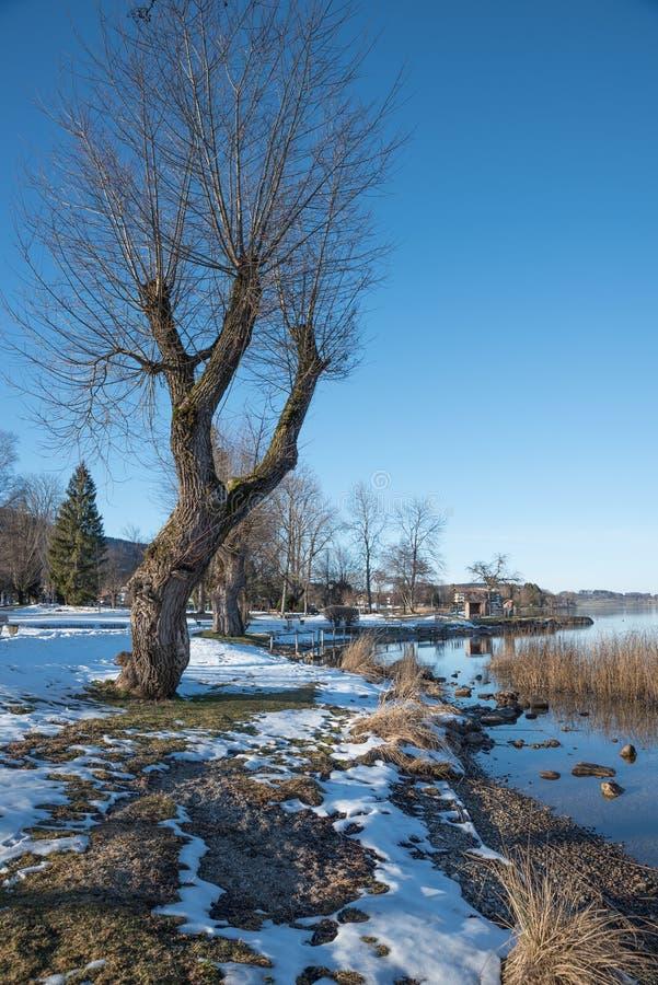 Чуть-чуть смотреть на верба Полларда на tegernsee берега озера стоковое изображение